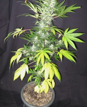 Buy WSS Seeds Online | WSS Seeds for sale | WSS Seeds